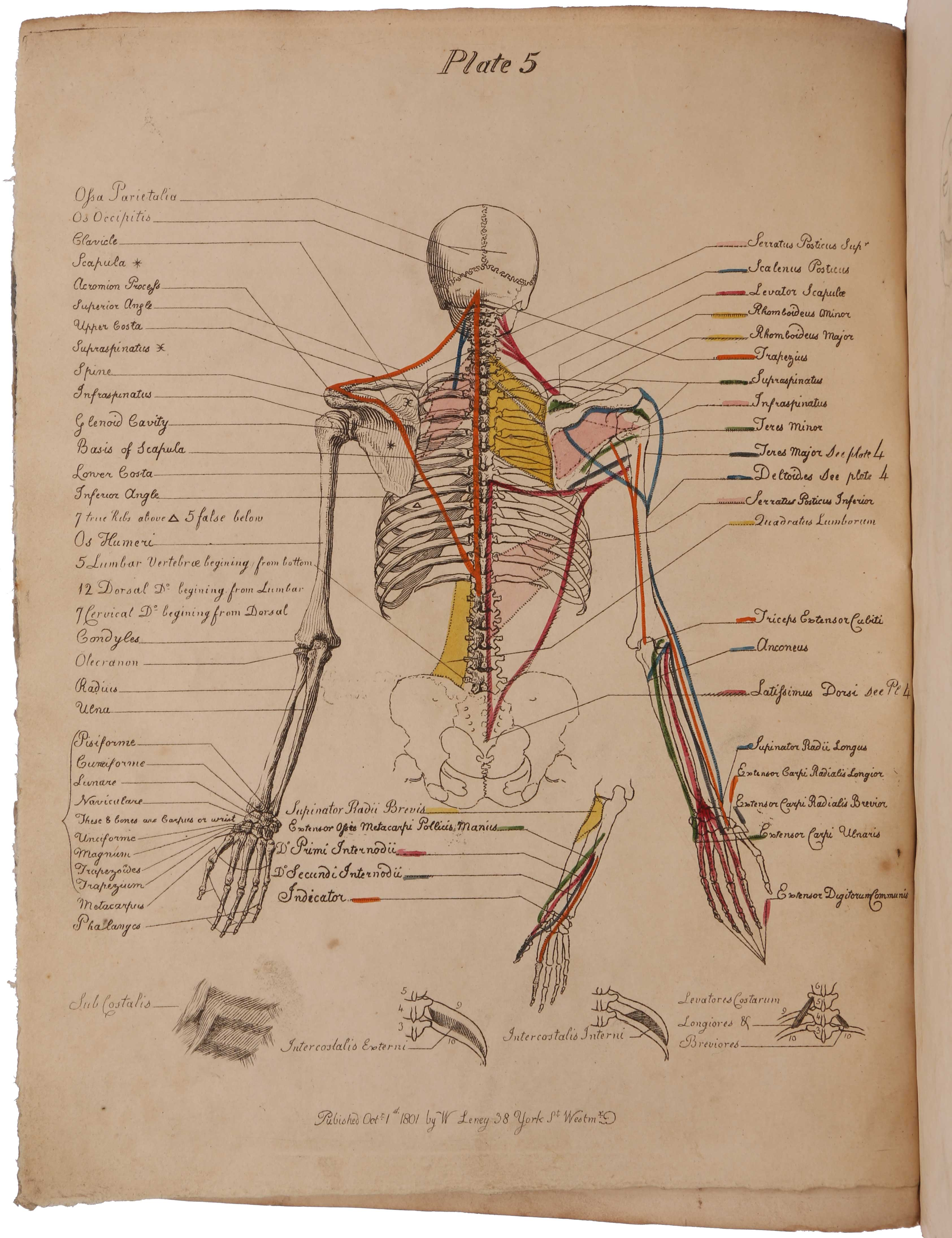 A Description of the Muscles of the Human Body, as they appear on Dissection; with the Synonyma of Cowper, Winslow, Douglas, Albinus, and Innes, and the Nomenclature of Dumas … With prints and maps, showing the insertion of muscles. Joseph Constantine CARPUE.